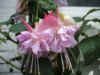 50 X FUCHSIA HOLLYS BEAUTY
